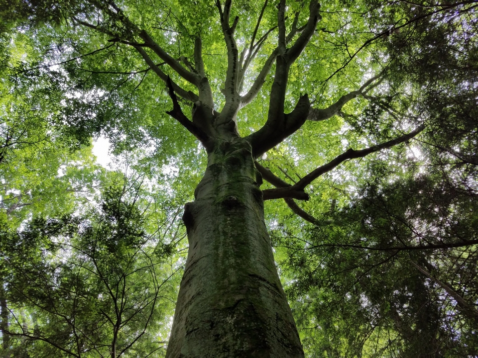 looking up the trunk of a huge tree into the canopy overhead