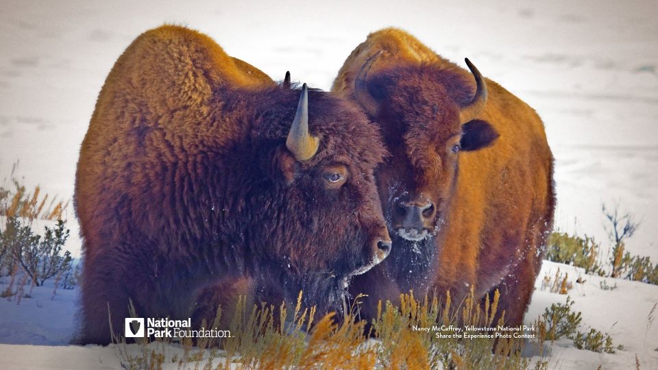 NPF Yellowstone Bison Wallpaper