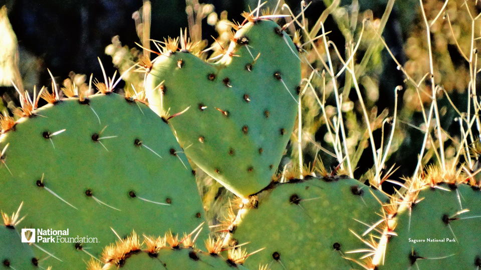 Green heart shaped cacti, backlit by a beaming sun