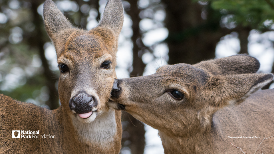 Two deer, one turned and nibbling the cheek of the other