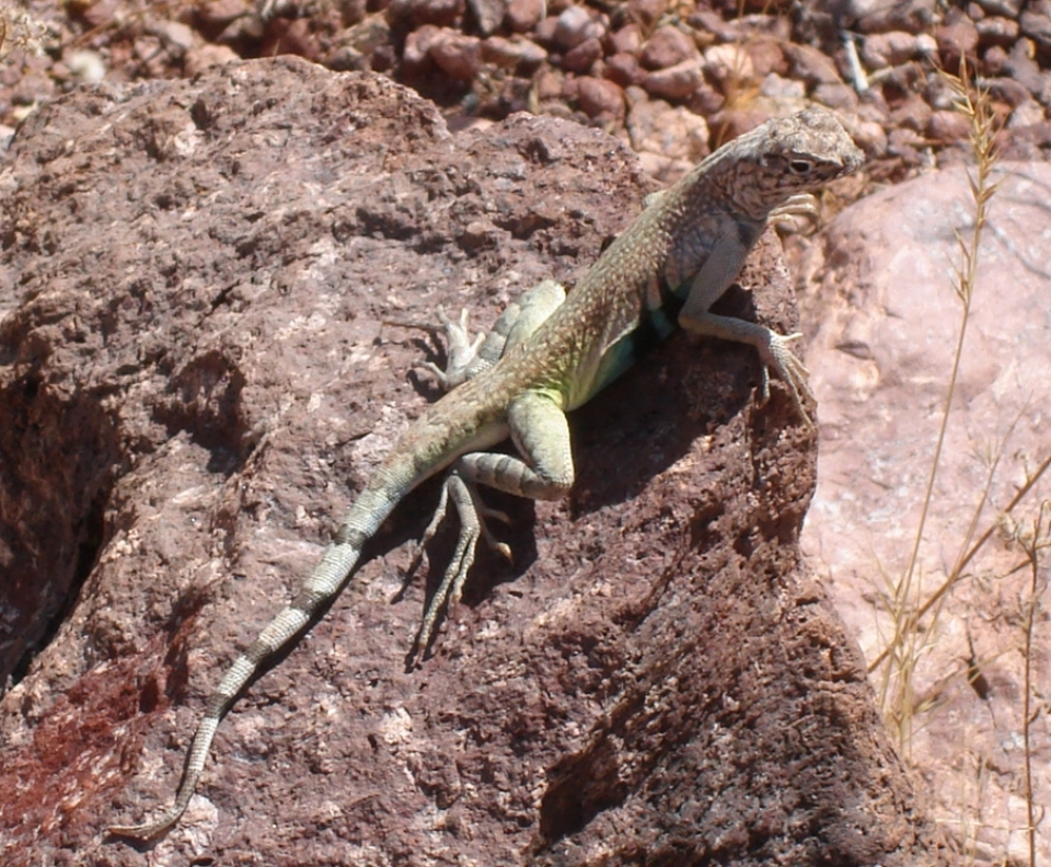 A zebra tailed lizard perches on a rock in the sunlight