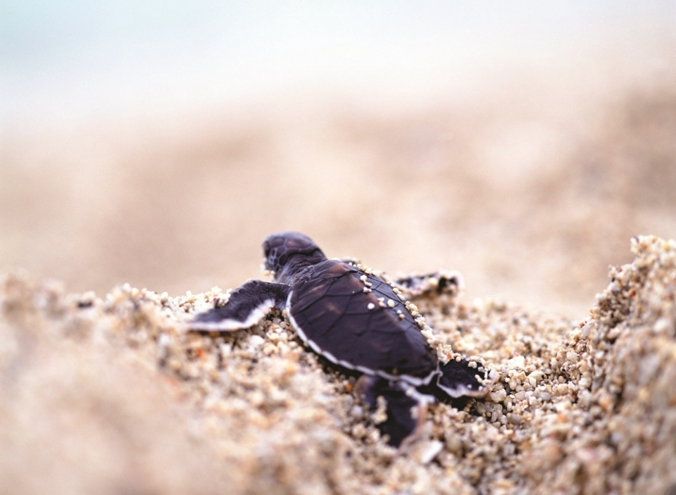 Baby turtle on Padre Island