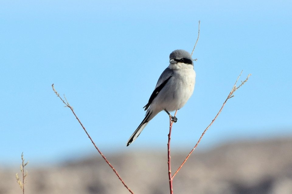 Gray and white bird with a black face mask and wing accents, perched on a narrow branch