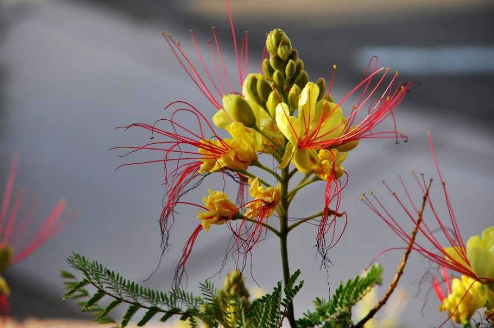Blooming bird of paradise, with green pods at the center and yellow petals.