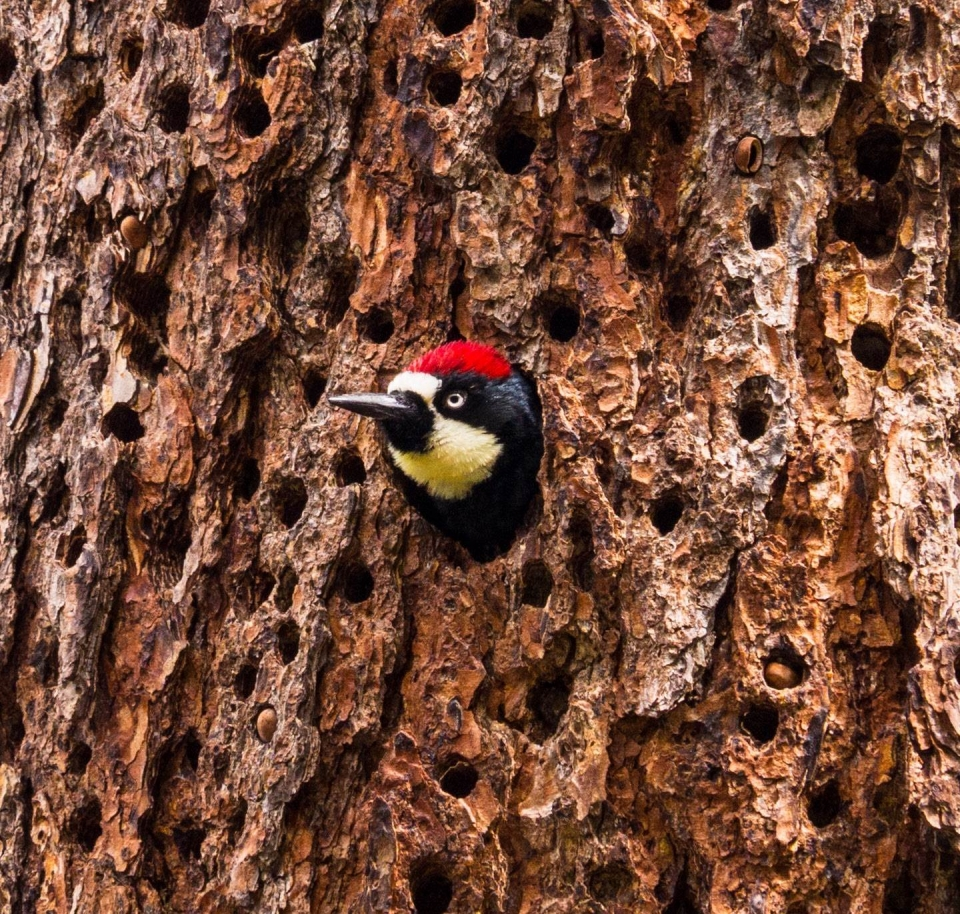An Acorn Woodpecker peeks out of a tree at Pinnacles National Park