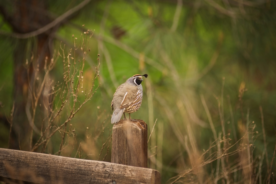 A California quail sits on a fence post near the campground
