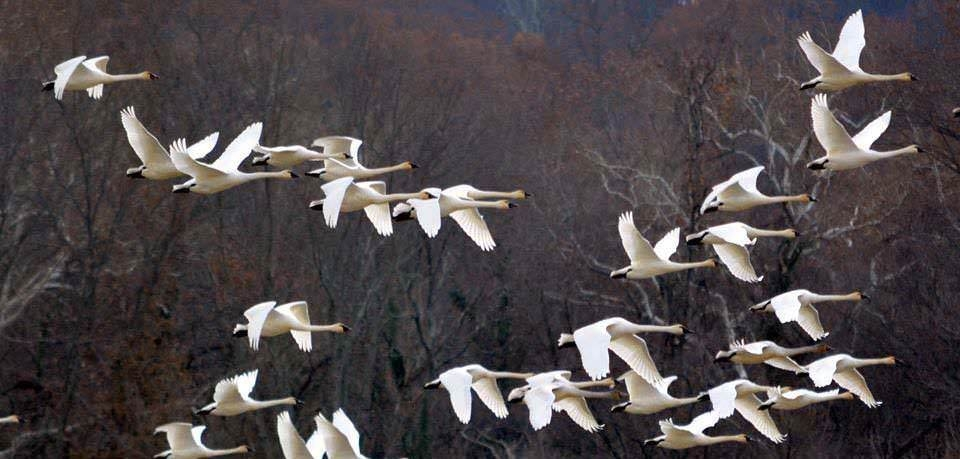 A flock of white tundra swans flying in front of bare branches at Piscataway Park