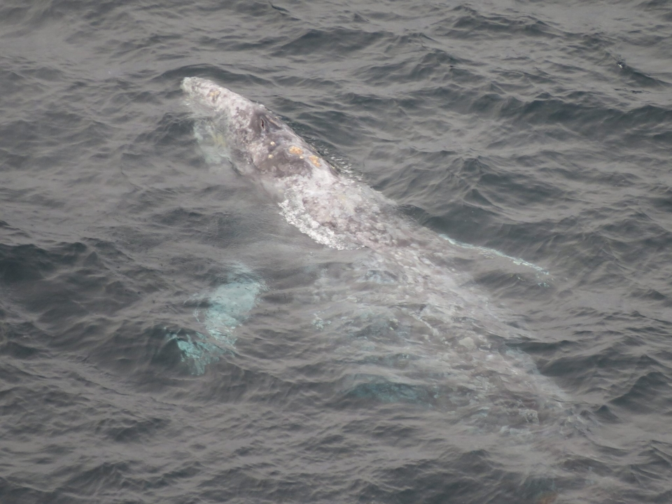 Aerial view of a gray whale swimming close to the surface at Point Reyes National Seashore