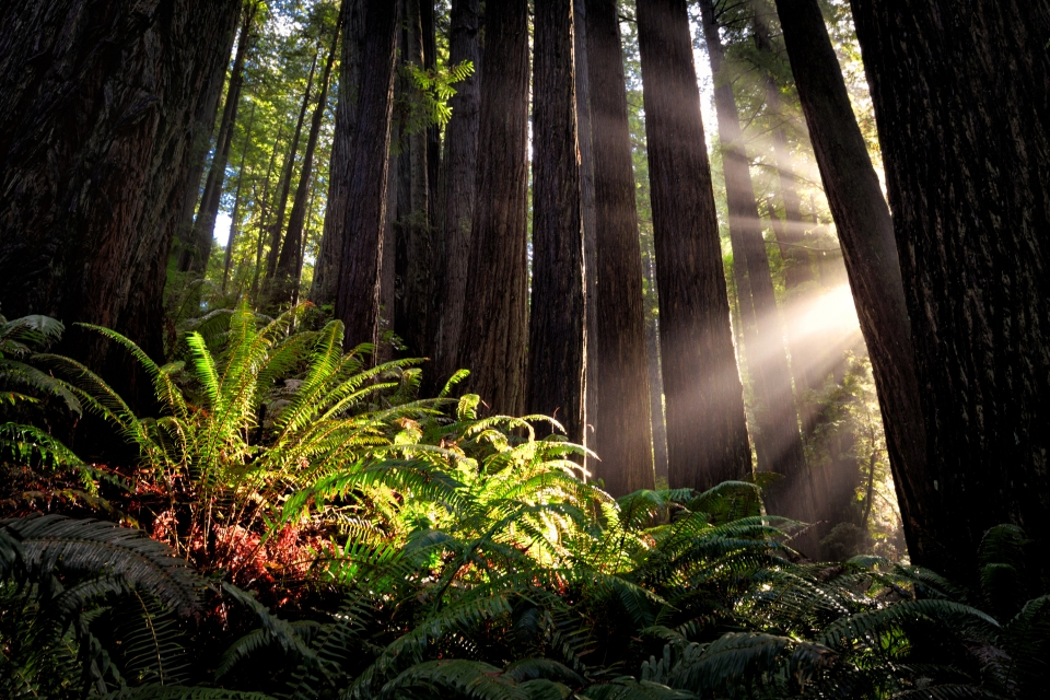 Ray of sun cutting through the trees lighting up green ferns at Redwood National Park
