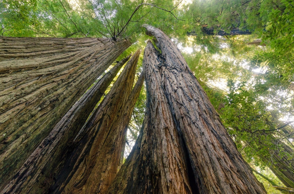 Looking up at redwood trees from the ground