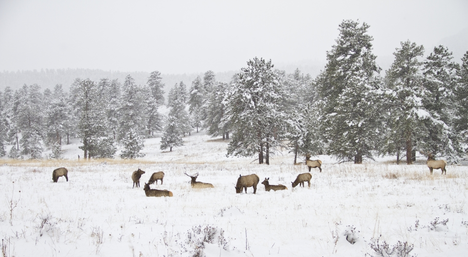 Elk graze and lounge in a field covered in snow, dotted with snow-tipped trees