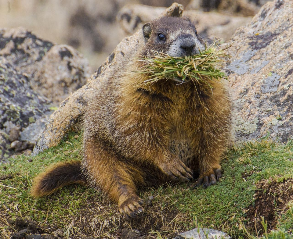 A yellow-bellied marmot sitting on the ground with a mouthful of green grass at Rocky Mountain National Park