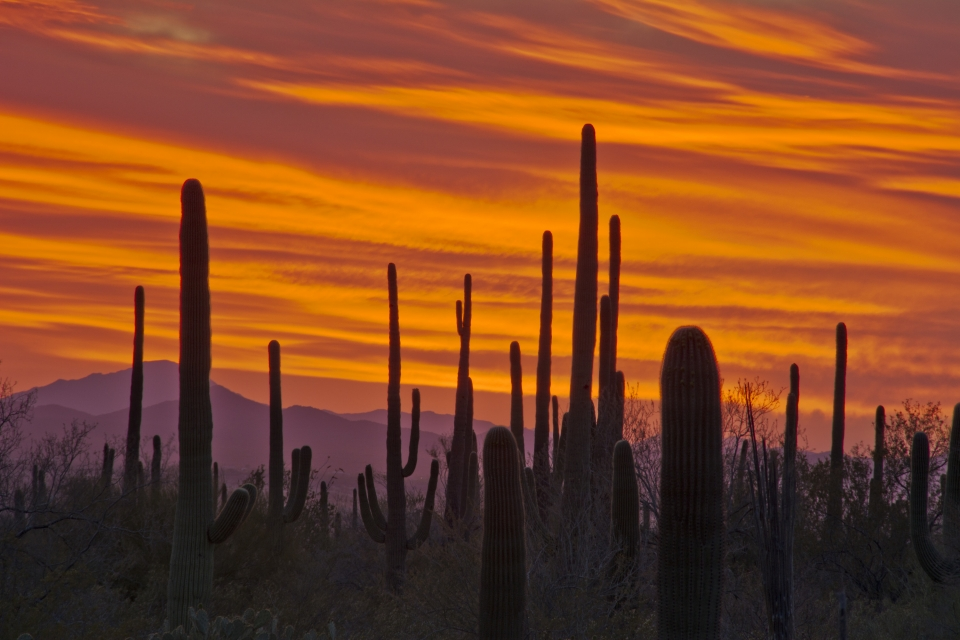 Red and orange sunset with the arms of the saguaro cactuses reaching into the sky at Saguaro National Park