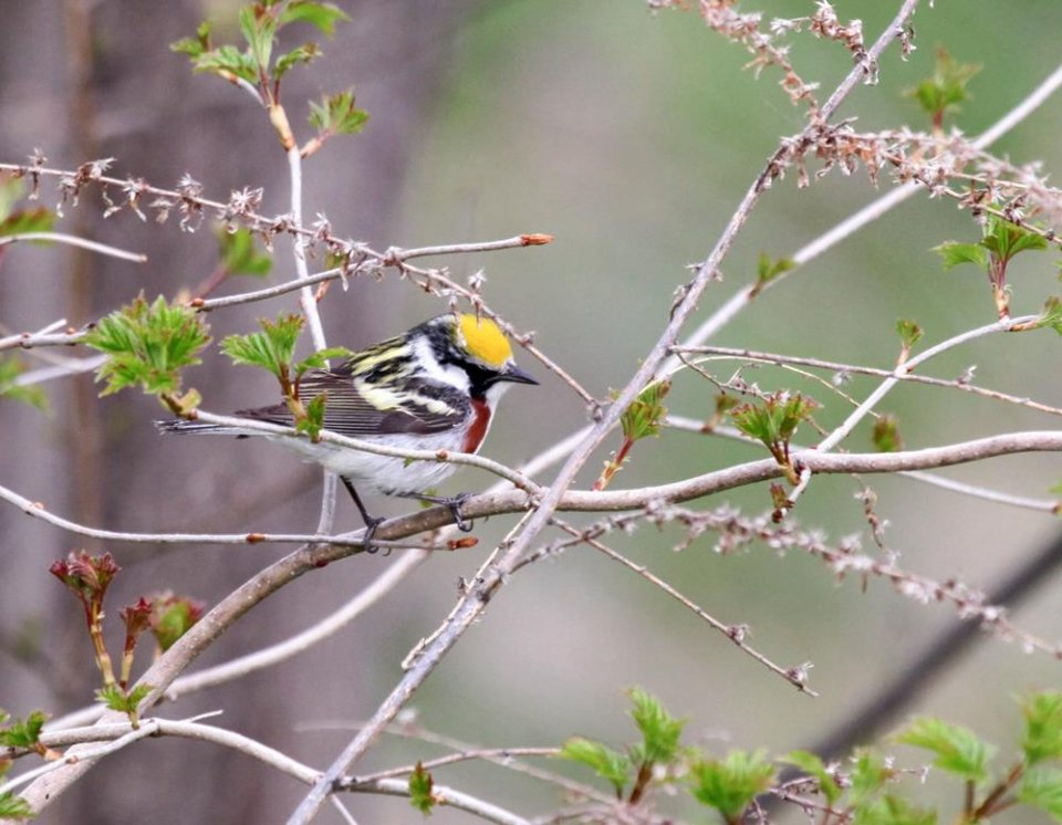 Yellow-headed white and black chestnut-sided warbler at Saint Croix National Scenic Riverway