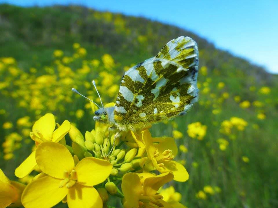 brown and white island marble butterfly resting on yellow flowers at San Juan Island National Historical Park