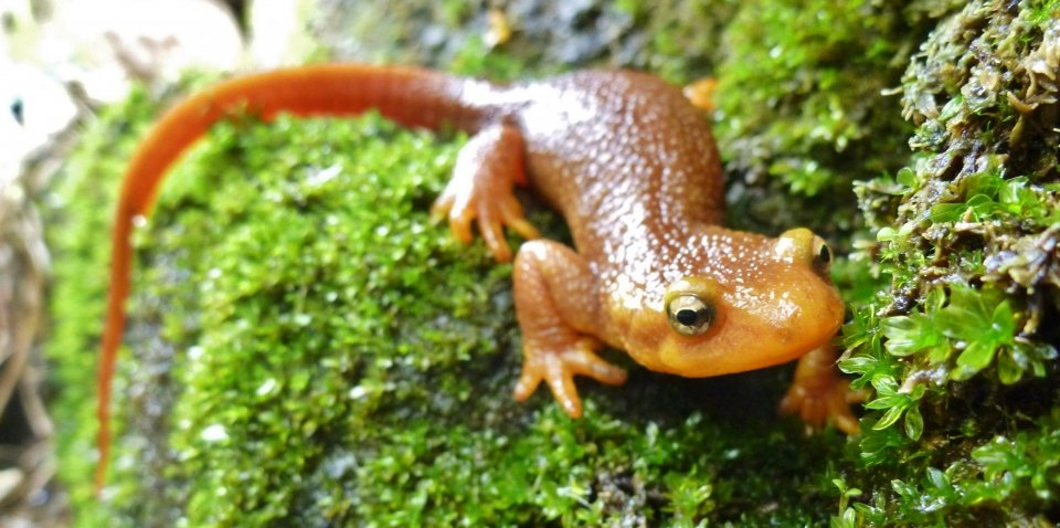 Orange newt with yellow eyes creeps along a mossy green surface