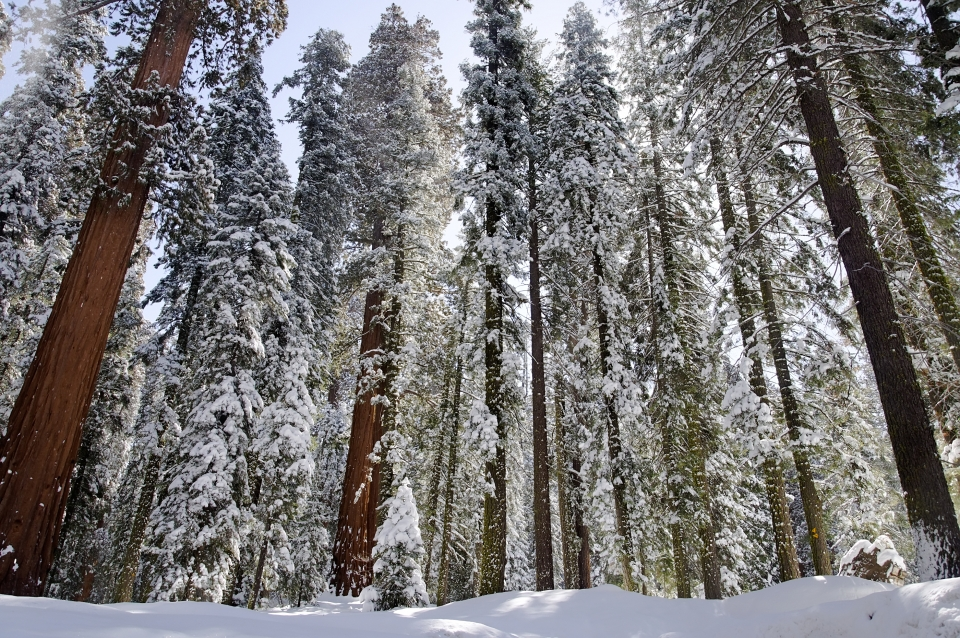 Sequoia trees blanketed in snow
