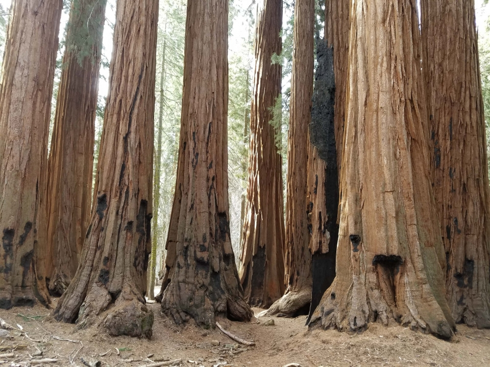 Big, tall sequoia trees in Giant Forest grove at Sequoia and Kings Canyon National Parks