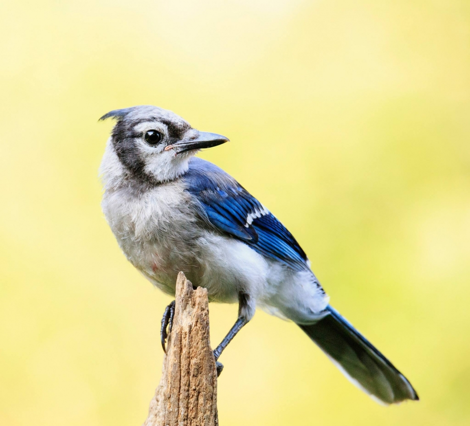 Blue jay perches on a branch and looks backwards
