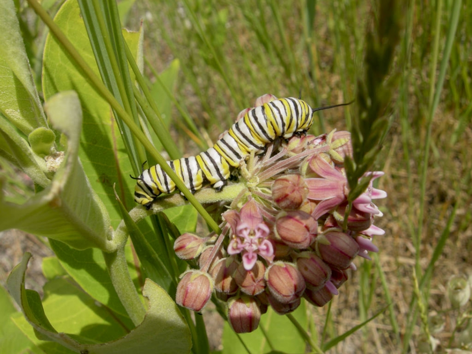 yellow, white, and black striped monach caterpillar on a pink milkweed flower cluster