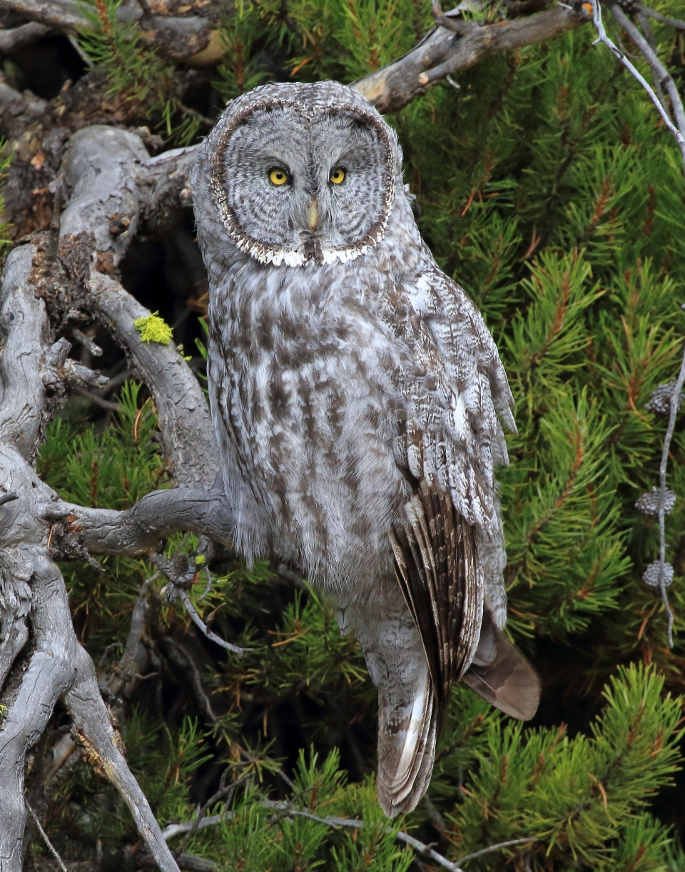 Brown and white owl with yellow eyes sitting in a pine tree.