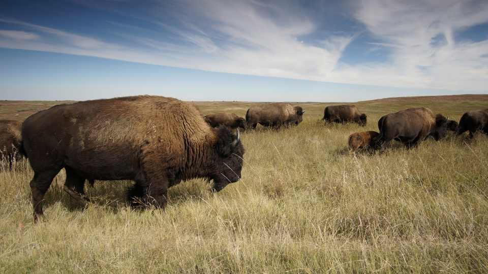 Bison on a dry prairie with cloudy blue sky above.