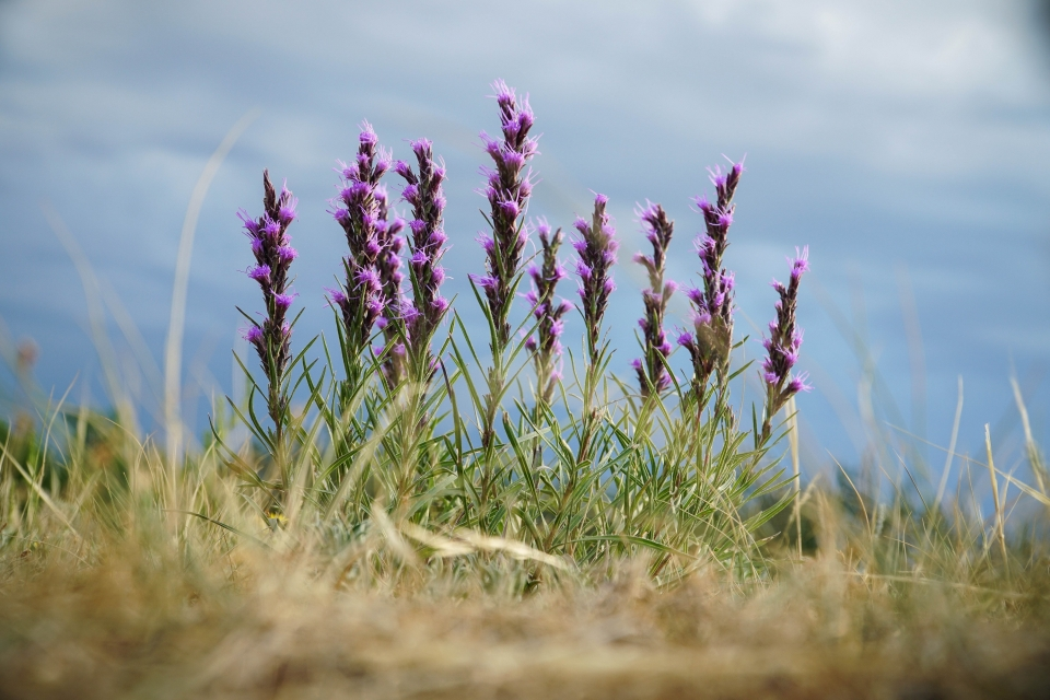 An artistically captured image of a fairly common wildflower known as Liatris punctata or purple gayfeather. This particular specimen was identified and photographed while collecting data in Theodore Roosevelt National Park.