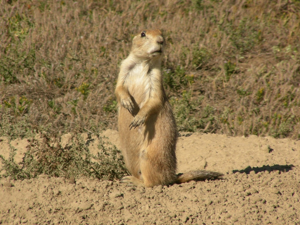Lone prairie dog on its hind legs on alert at Theodore Roosevelt National Park