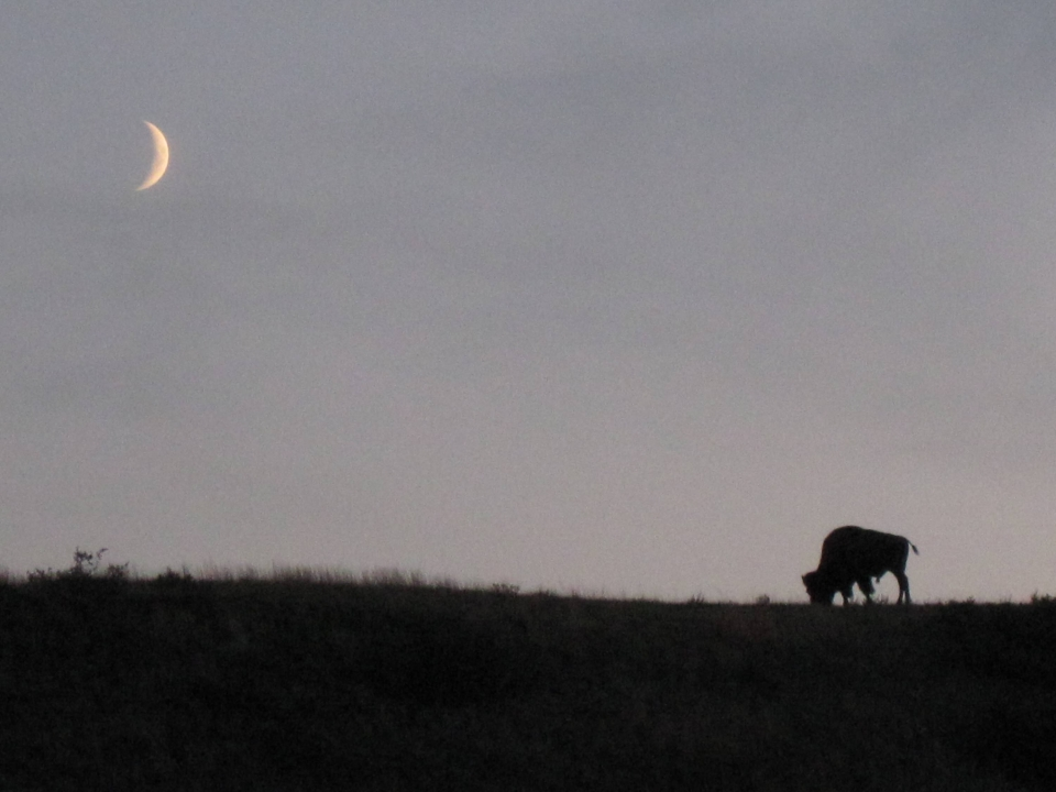 A crescent moon hovers within a gray sky over a quiet field with a single buffalo at Theodore Roosevelt National Park.