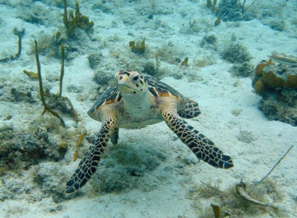A hawksbill sea turtle wades through the reef, underwater picture