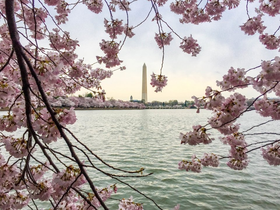 Cherry blossom trees flowers frame the Washington Monument across the water in the Tidal Basin