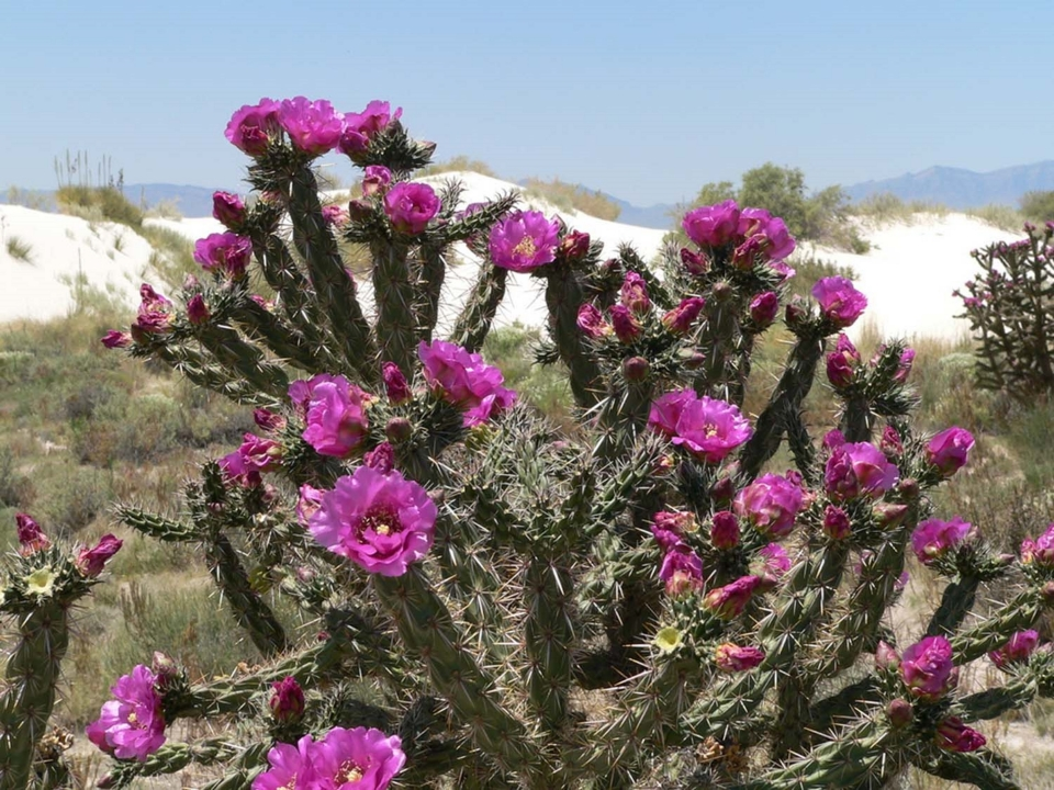 The Cane Cholla is blooming with vibrant magenta flowers at White Sands National Monument