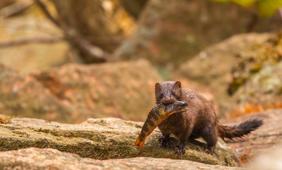 Brown mink with a brook trout in its mouth at Acadia National Park