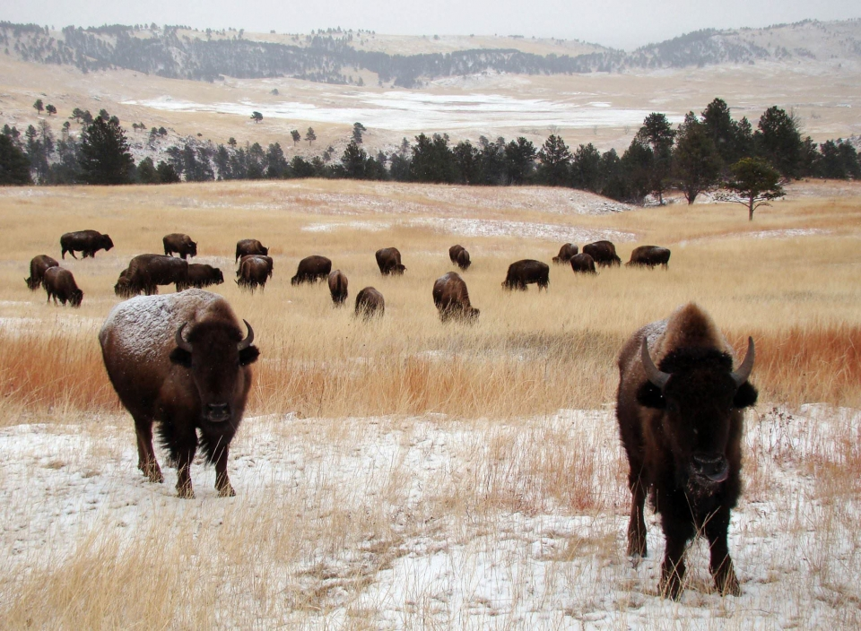 A herd of bison on the snowy yellow grassy plains of Wind Cave National Park