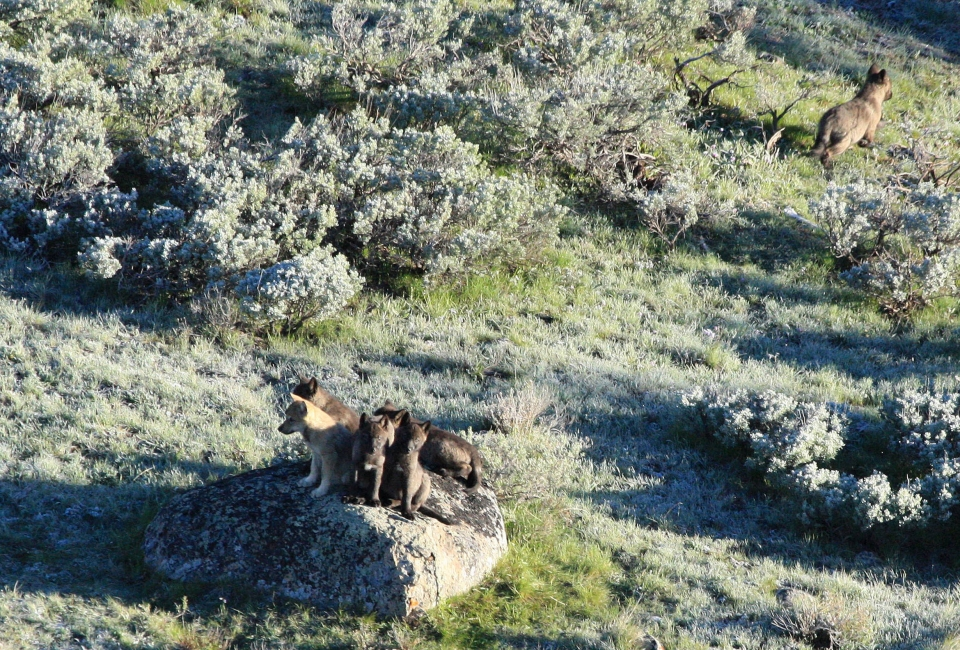 pack of wolf pups sitting on a rock at Yellowstone National Park
