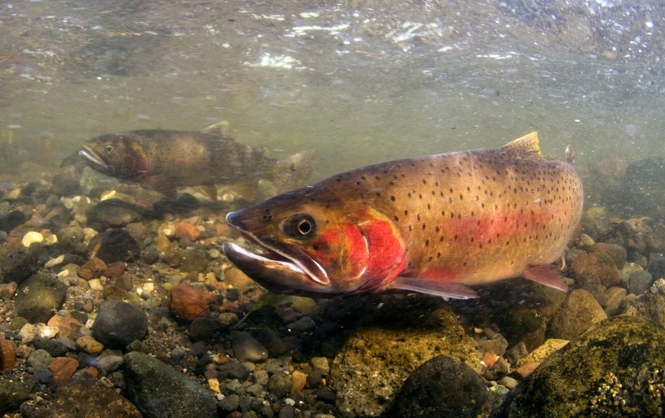Native Cutthroat Trout swimming in Yellowstone National Park