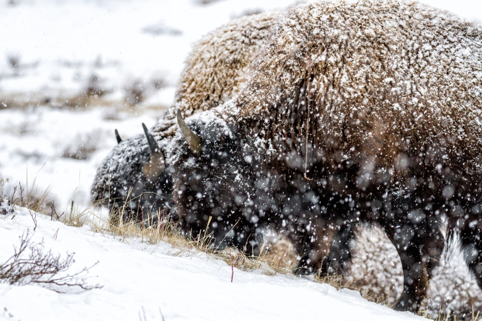Bison searching for food in the snow at Yellowstone National Park