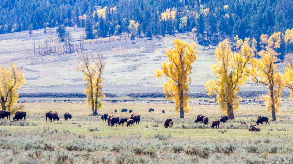 Bison graze in a meadow with yellow cottonwood trees