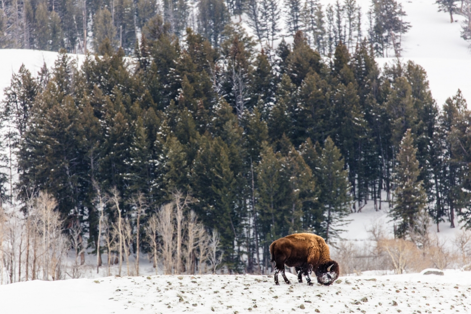 Bison is feeding on top of a rocky hill with another hill with conifers and aspens in the background