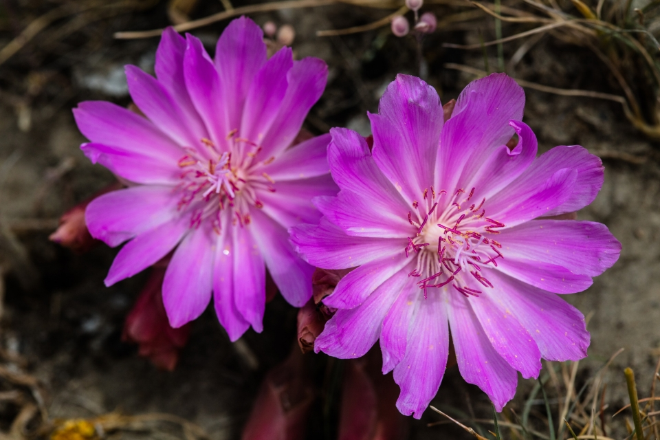 Bright pin, low growing flowers with many petals