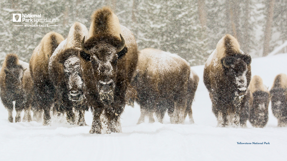 A herd of bison trample through the snow as fresh snow falls