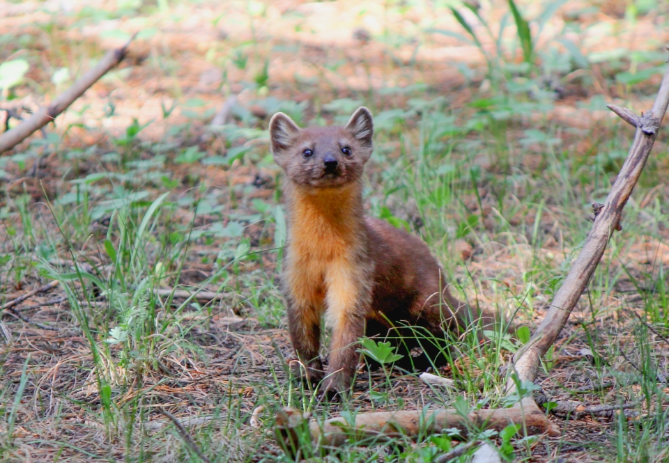 Pine marten standing on apen ground and looking at camera
