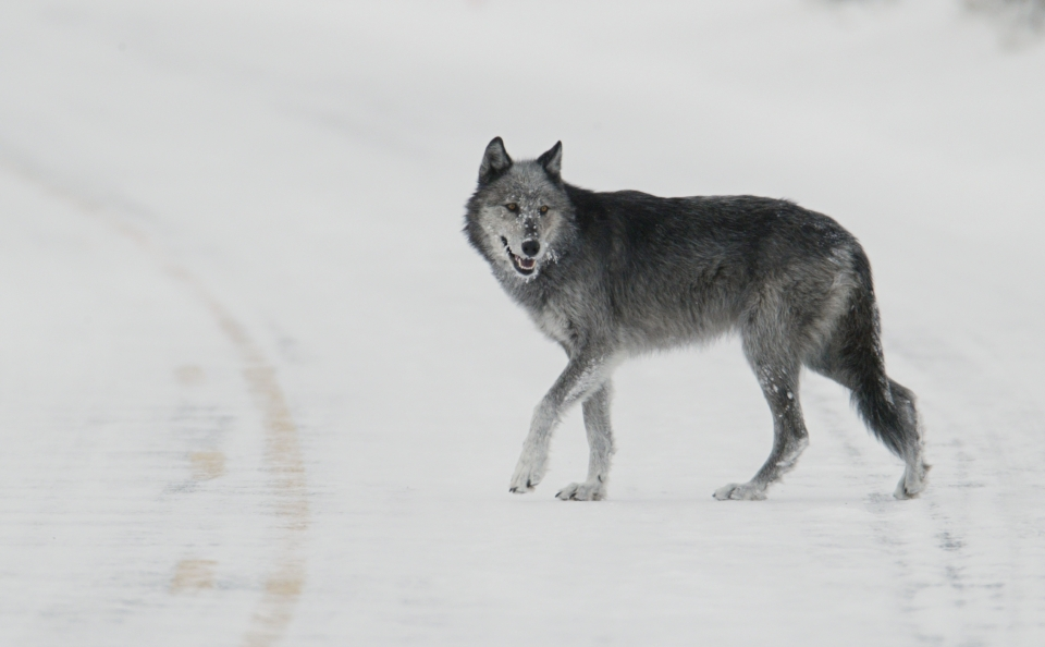 Black and gray wolf crosses road at the center line and looks back