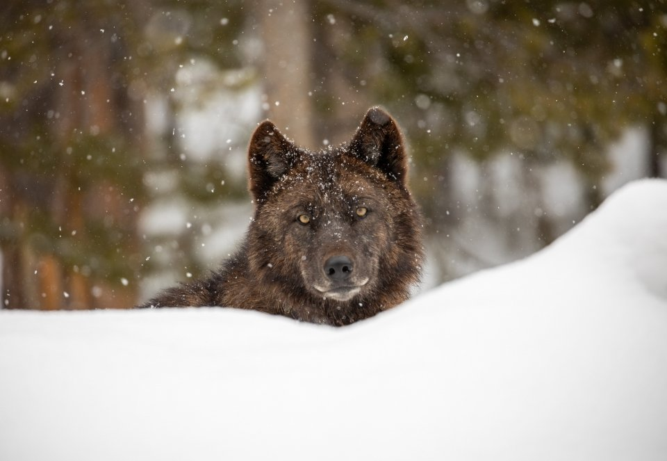 Zoomed in portrait of a wolf which is sitting behind a snow bank with only its head showing.