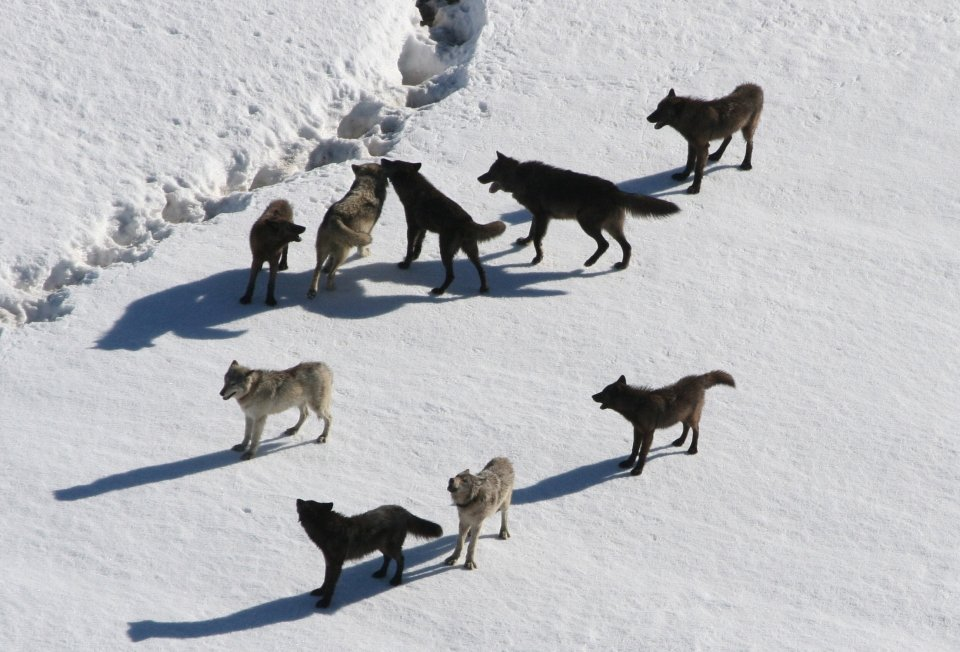 Nine wolves interact on top of crusty snow.