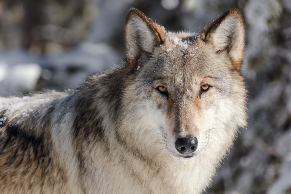 Close up of the face of a grey wolf