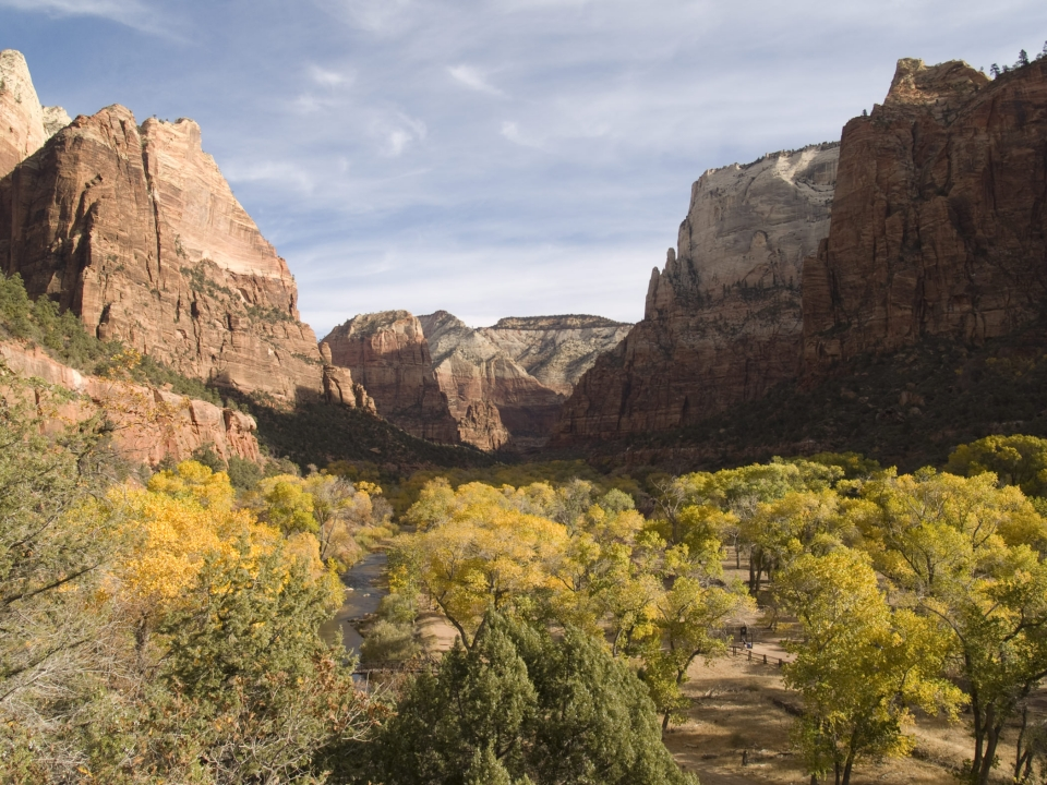 Yellow cottonwoods in autumn in Zion Canyon at Zion National Park