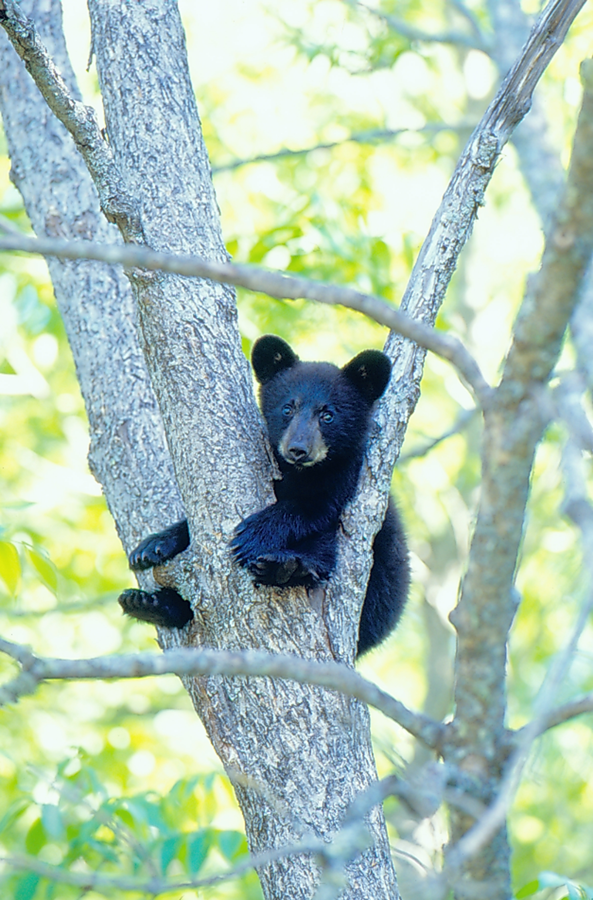 Baby black bear Cades Cove GSM