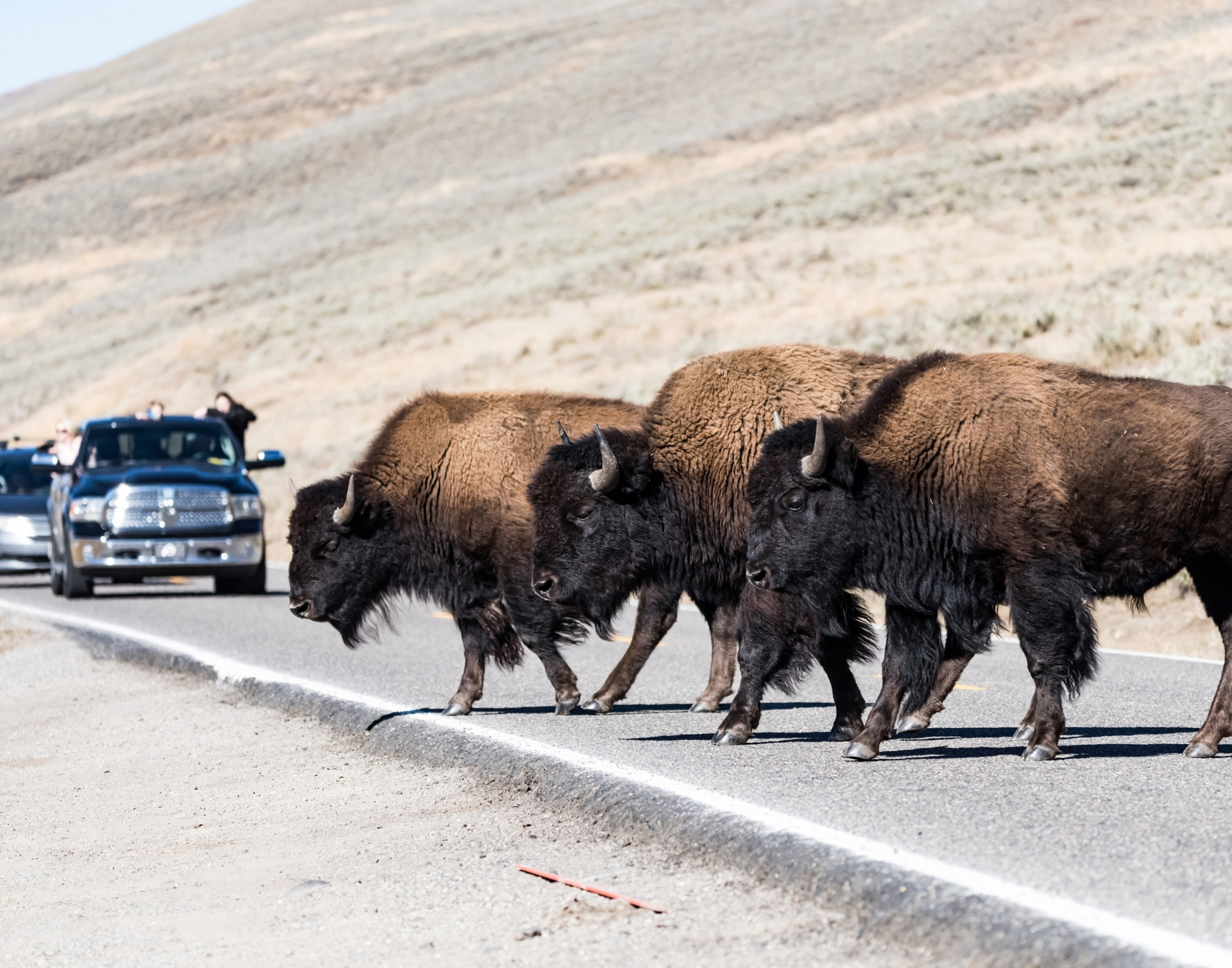 Buffalo crossing the road in Lamar Valley.