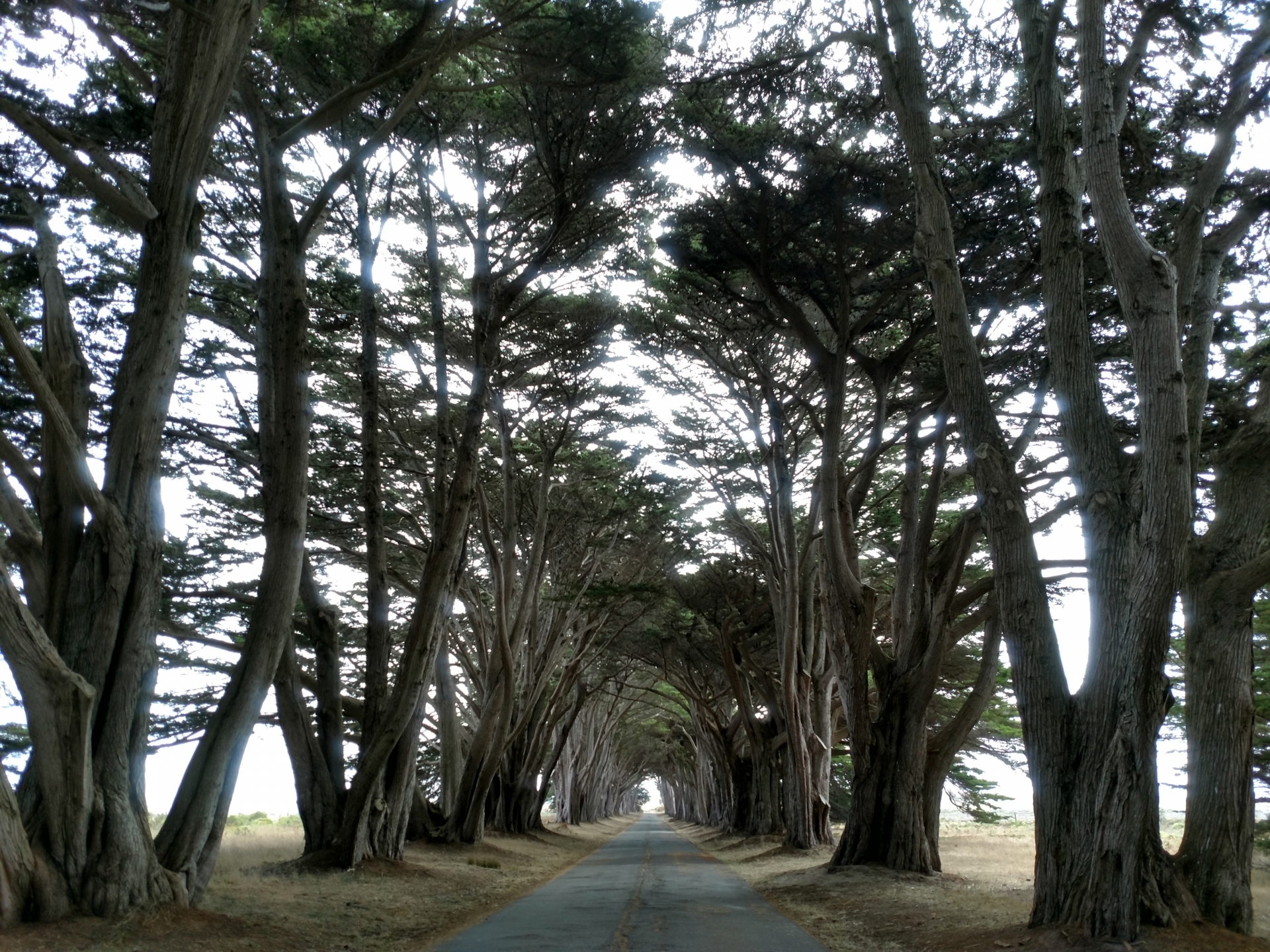Tunnel of cypress trees lining the road